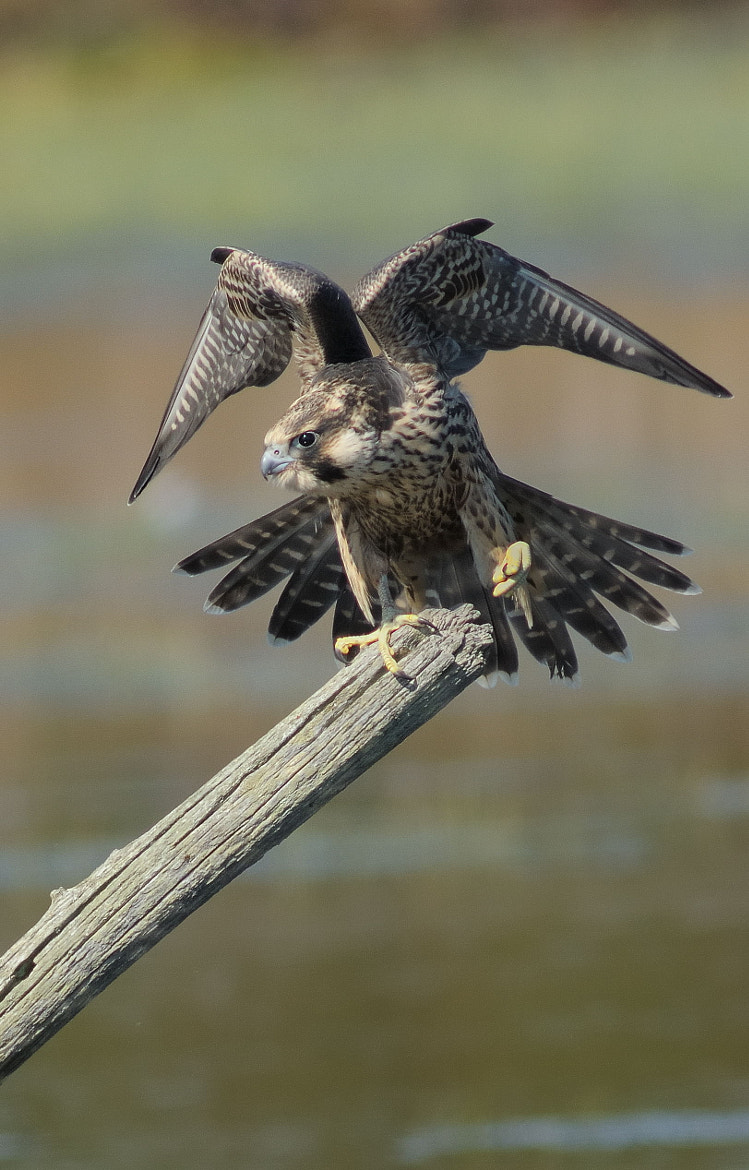 Photograph Peregrine Falcon by Mark Schwall on 500px