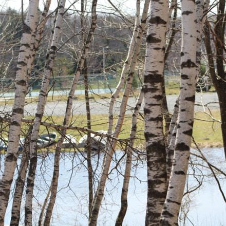 Fall Birch Tree, Canon EOS REBEL T6, Canon EF 75-300mm f/4-5.6