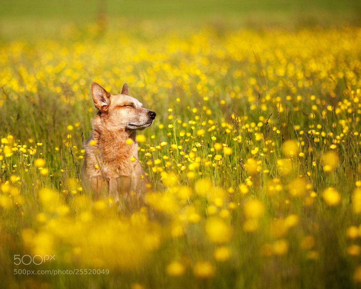 Photograph Dog and Buttercups by Jeff Jaquish on 500px