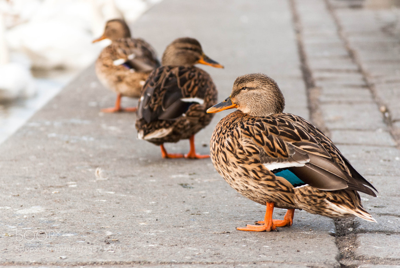 Photograph 3 duckies by Anna Shklyaeva on 500px