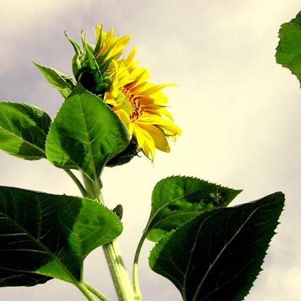 Sunflower power, Sony DSC-S650