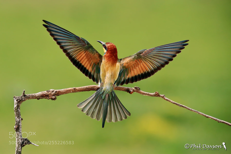 Wing symmetry (merops apiaster)