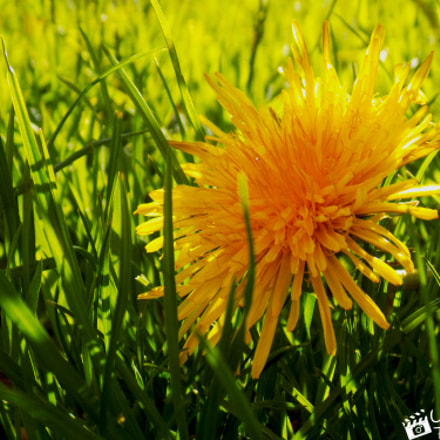 Dandelion, Nikon COOLPIX L330