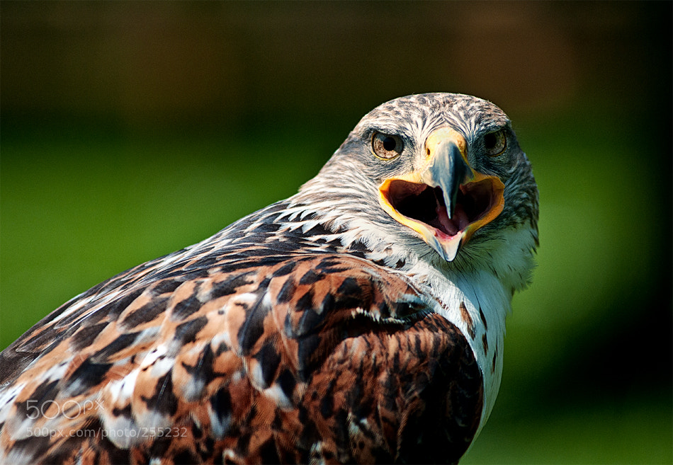 Photograph buzzard by Marei ... on 500px
