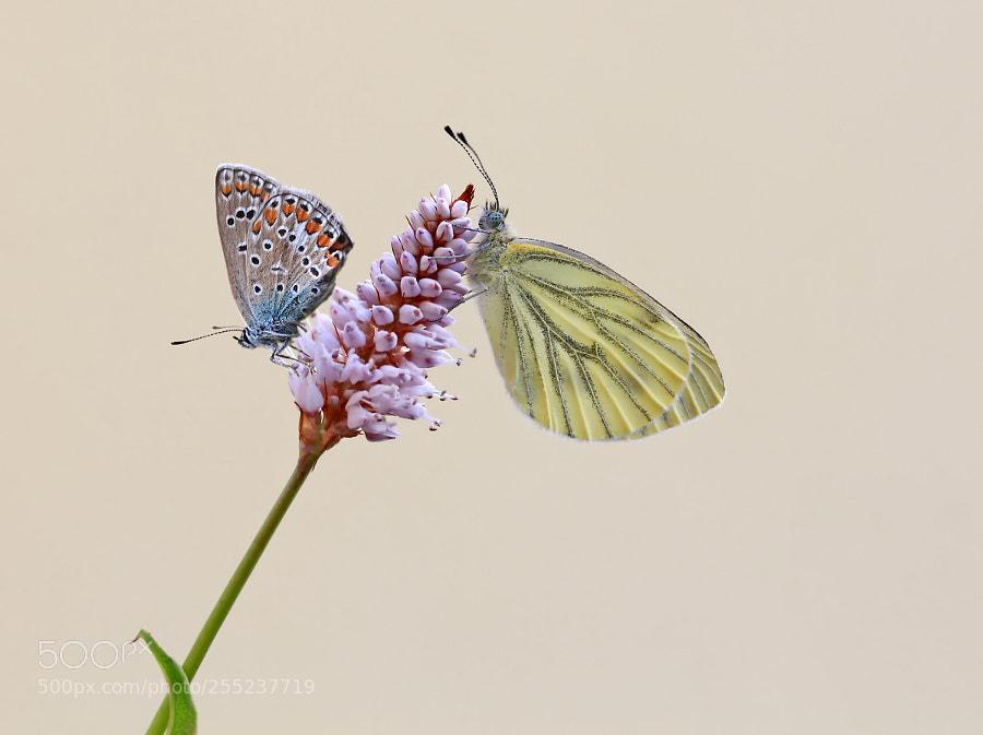 Common blue & Green-veined white
