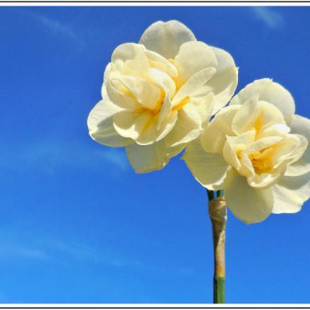 Narcisses , Nikon COOLPIX S6500