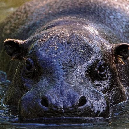 pygmy hippopotamus, Sony ILCA-68, Tamron SP 150-600mm F5-6.3 Di USD