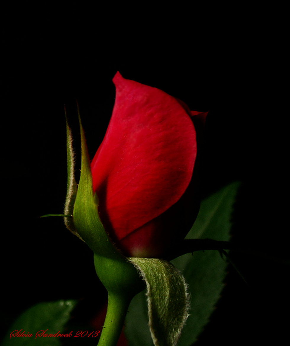 Photograph Red Rose Bud....... by Silvia Sandrock on 500px