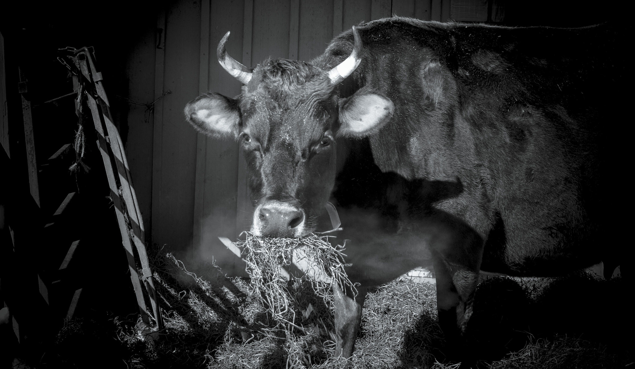 Photograph A Bull & His Oats by Laura Lynch on 500px