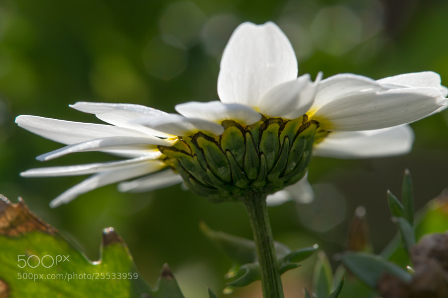 Photograph White flower by marbee .info on 500px