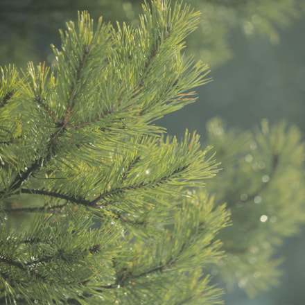 Just a pine, Canon EOS 1200D