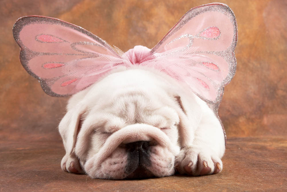 Photograph Bulldog puppy with wings by Peter Fisher on 500px