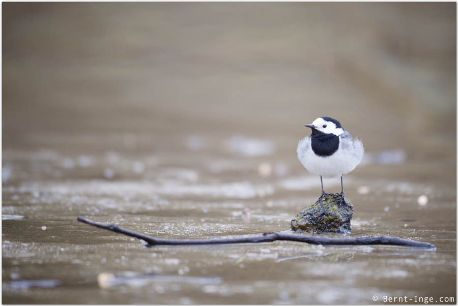 White wagtail / Linerle by Bernt-Inge Madsen on 500px.com