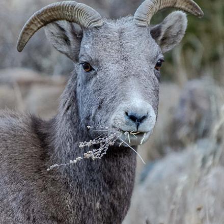 Bighorn Sheep, Nikon D4S, Sigma 150-600mm F5-6.3 DG OS HSM | S