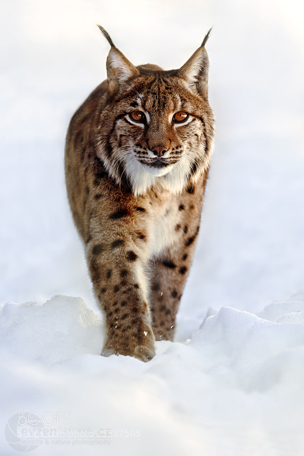 Photograph Lynx Lynx by Evzen Takac on 500px