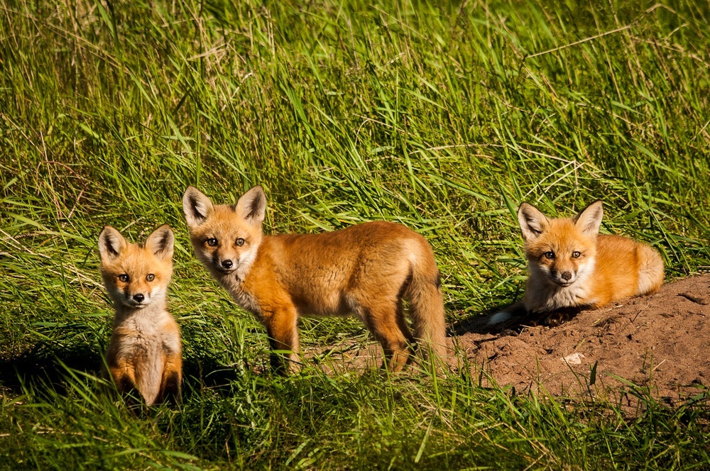 Photograph Red Fox Kits by Mark Mathison on 500px