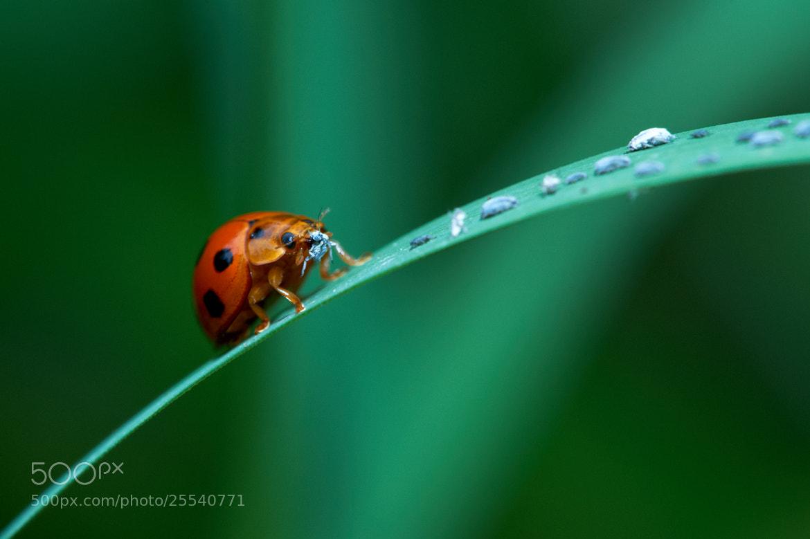 Photograph Coccinellidae by Nik Fikri on 500px