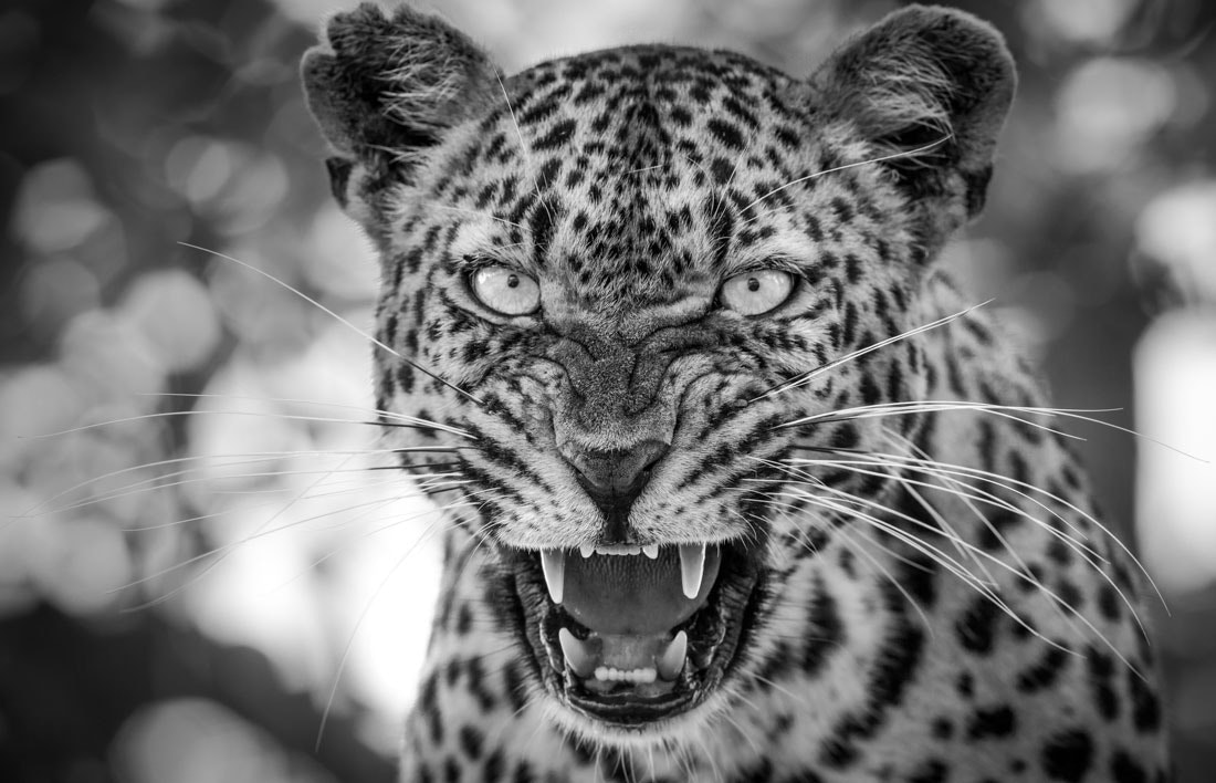 Photograph Spitting Leopard by Marlon du Toit on 500px