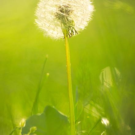 Dandelion dream, Canon EOS 1100D, Sigma 70-300mm f/4-5.6 [APO] DG Macro