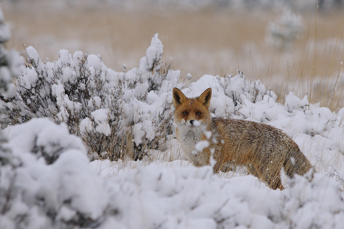 Photograph The Fox by B Timmer on 500px
