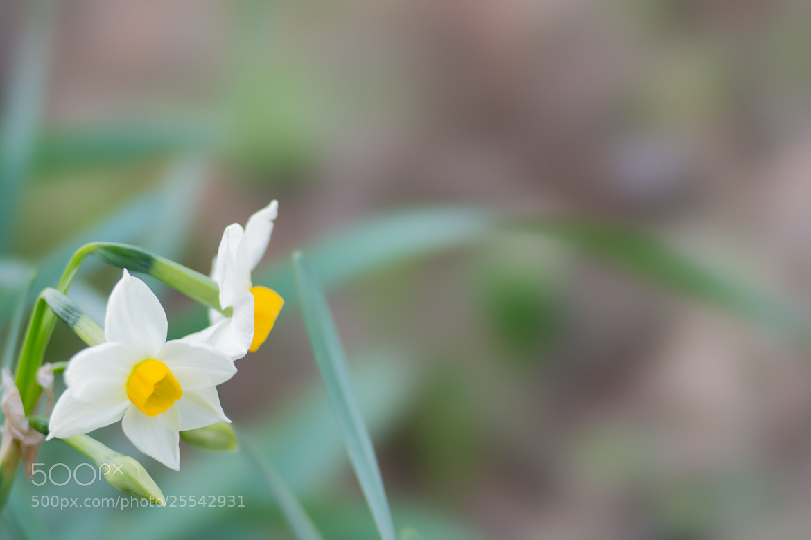 Photograph Narcissus by marbee .info on 500px