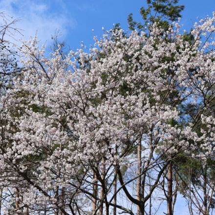 桜, Canon EOS KISS X7, Canon EF-S 55-250mm f/4-5.6 IS II