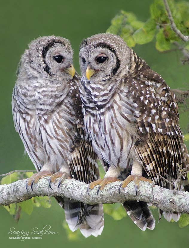 Photograph Barred Owls Waiting for Dinner by Brenda Moseley on 500px
