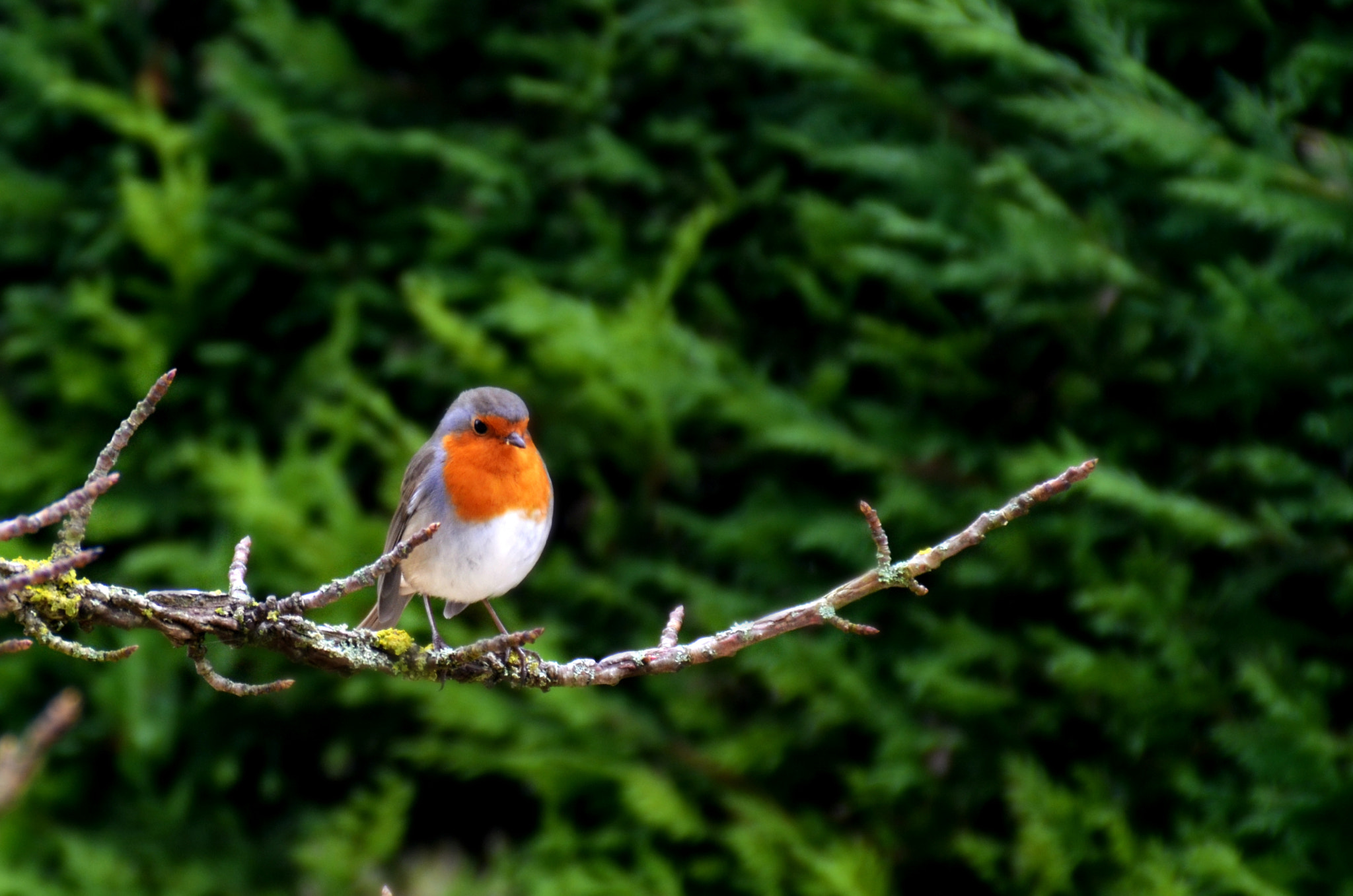 Photograph Rouge Gorge by Marjolaine Roux on 500px