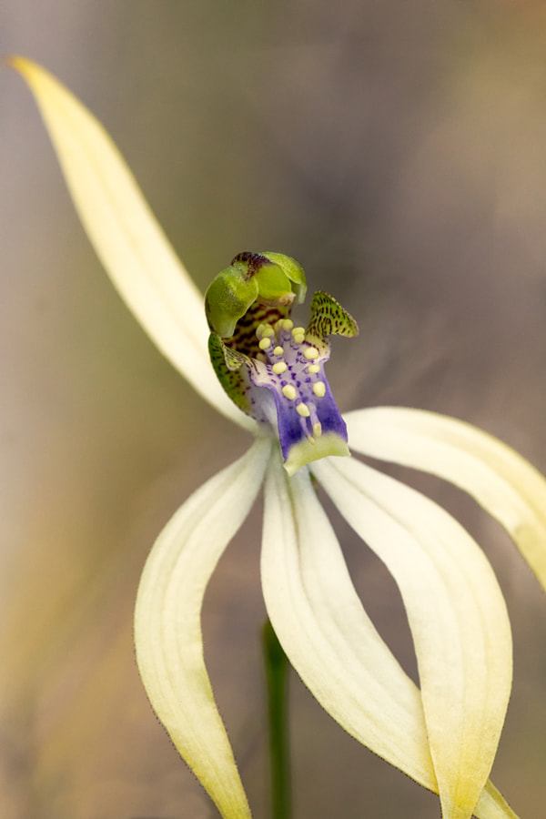 Leafless Orchid by Paul Amyes on 500px.com