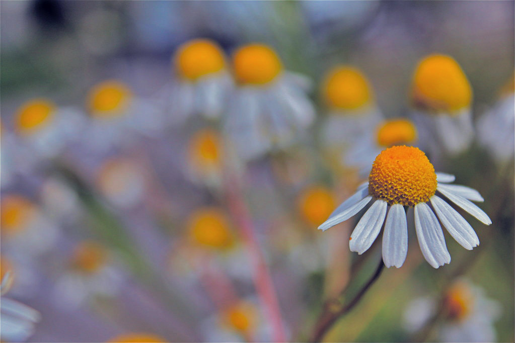 Photograph Daisy  by Eo NaYa on 500px