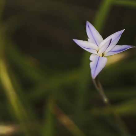little blueish flower, Sony SLT-A65V, Tamron SP AF 90mm F2.8 Di Macro