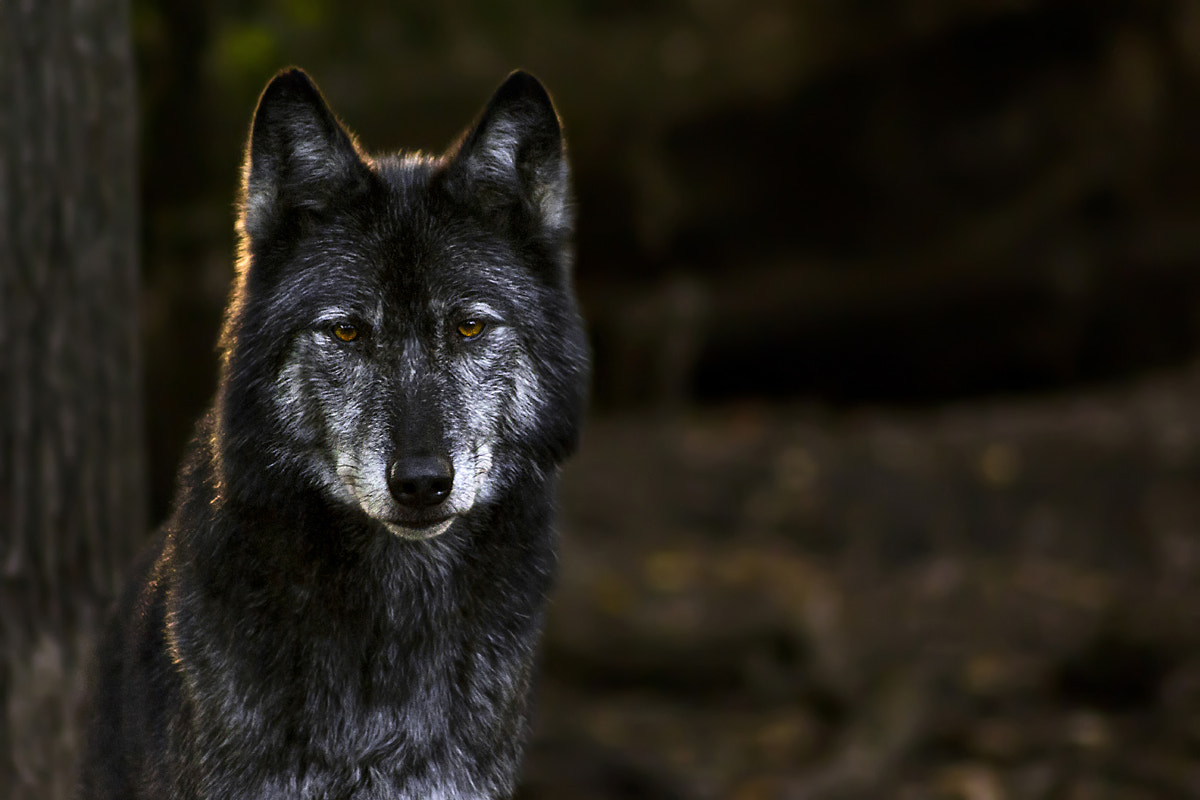 Photograph Wolf by Sascha Krause on 500px
