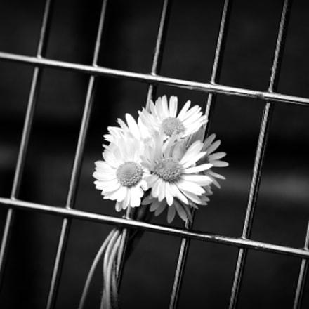 daisy days, Canon EOS 40D