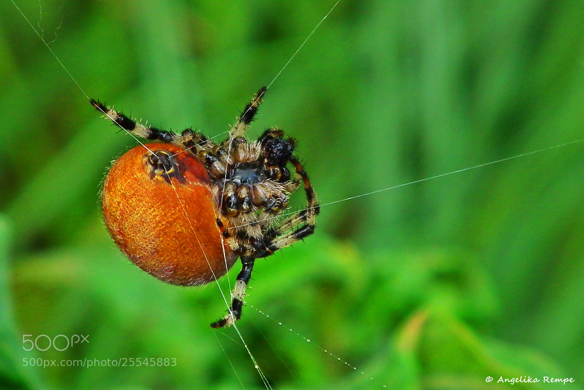 Photograph Spider at work by Angelika Rempe on 500px