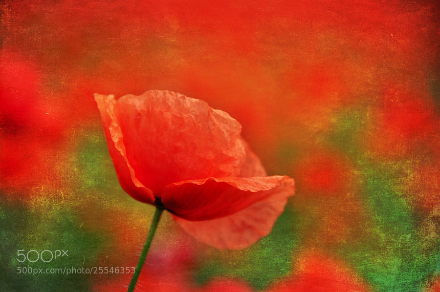 Photograph Textured Poppy by Csilla Zelko on 500px