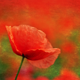 Textured Poppy by Csilla Zelko (csillogo11)) on 500px.com
