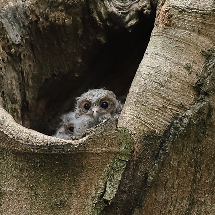 B Collared Scops Owl, Canon EOS 6D MARK II, Canon EF 300mm f/4L IS