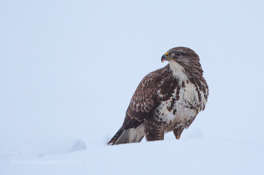 buzzard on snow