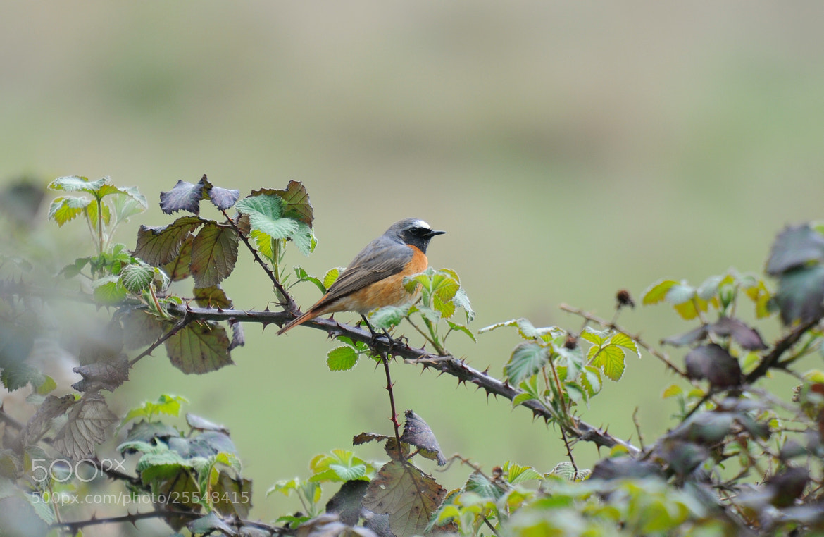 Photograph Redstart by Bill Dykes on 500px