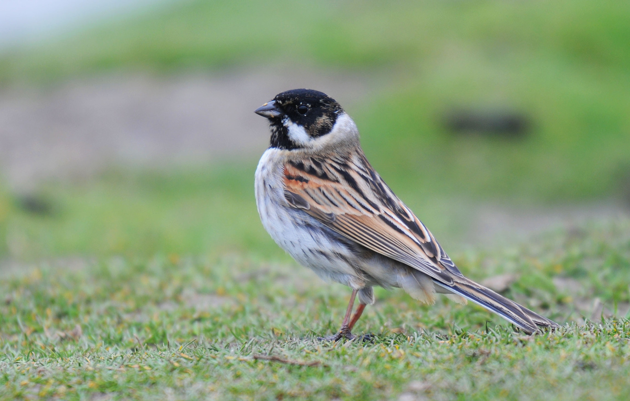 Photograph Reed Bunting by Bill Dykes on 500px