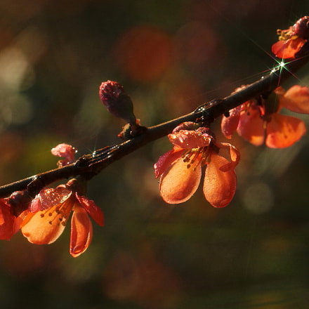 FLOWERING QUINCE, Canon EOS 60D
