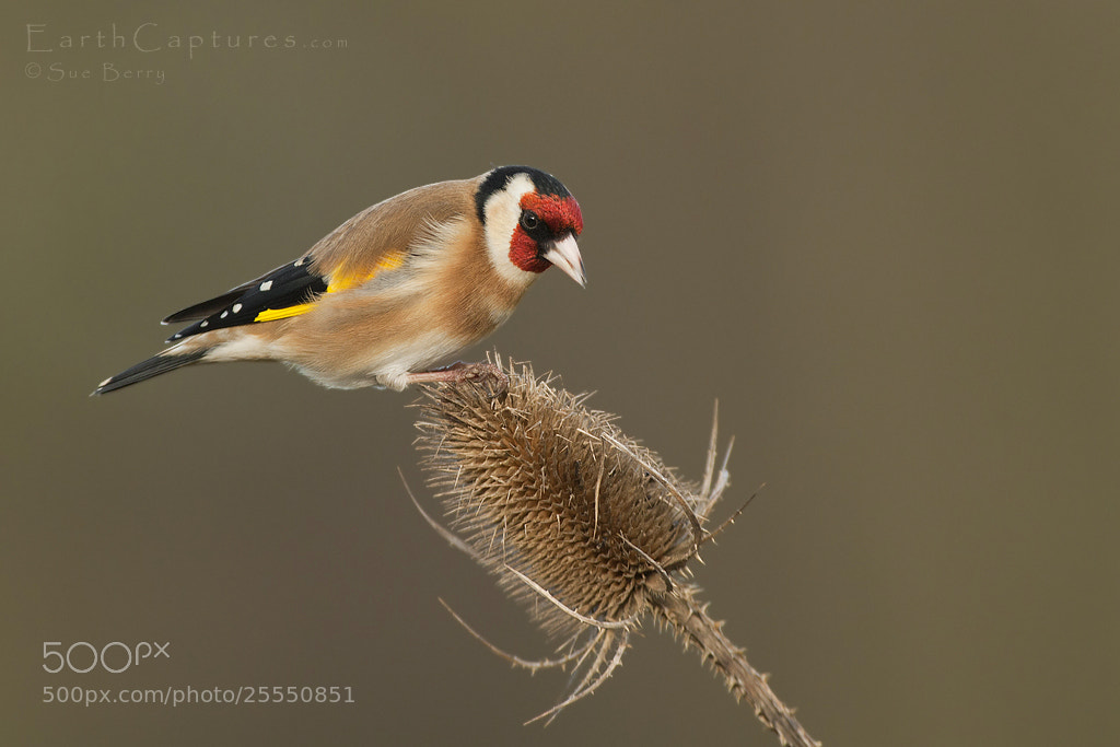 Photograph Goldfinch by Sue Berry on 500px