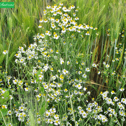 Frühlingsblumen, Canon IXUS 155