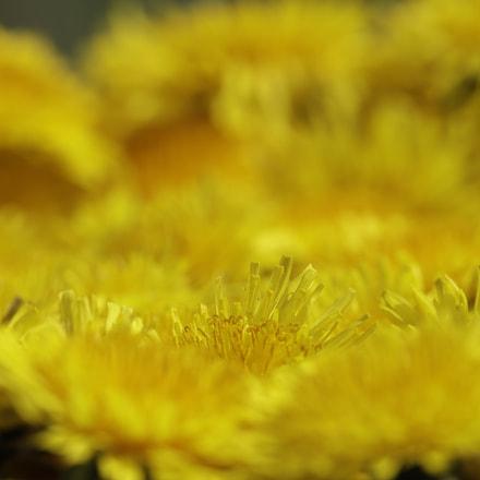 Dandelions wild spring flowers, Canon EOS 6D MARK II