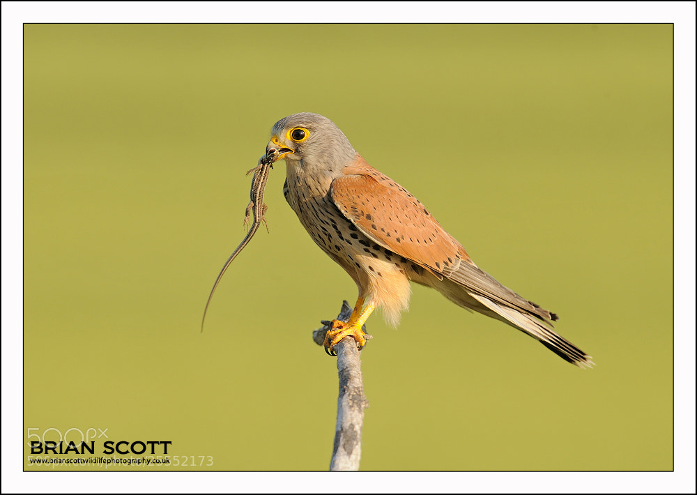 Photograph Kestrel by Brian Scott on 500px