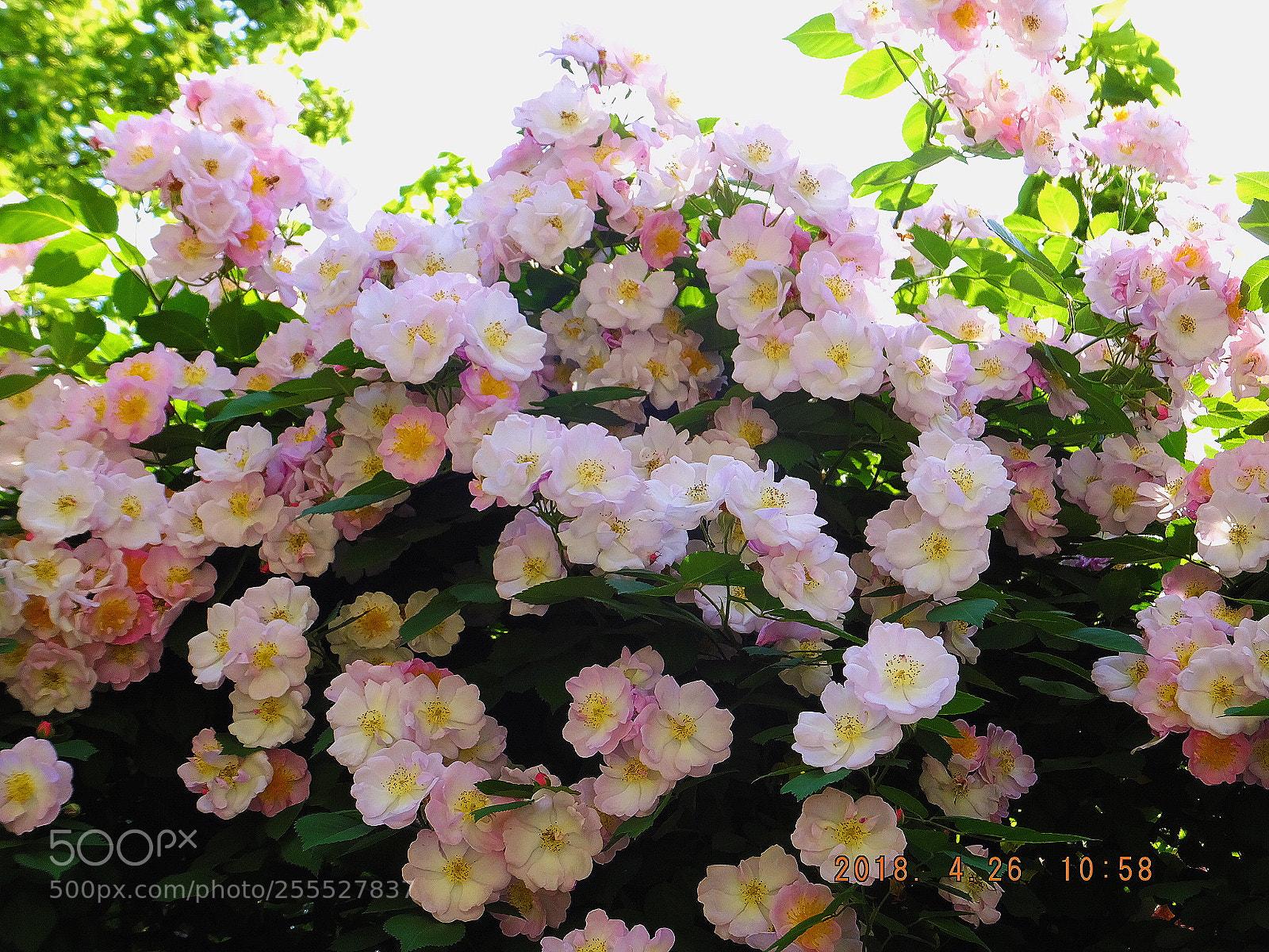 rose, Fujifilm FinePix F900EXR
