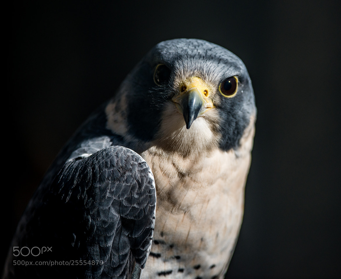 Photograph Peregrine Falcon by Greg Padgett on 500px
