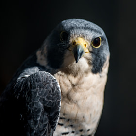 Peregrine Falcon by Greg Padgett (gregp701)) on 500px.com