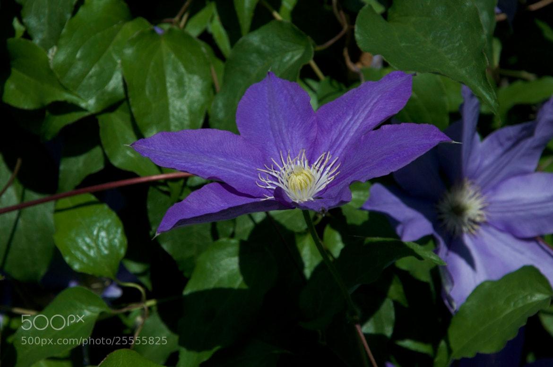 Photograph Purple Flower by Laiko Brenham on 500px