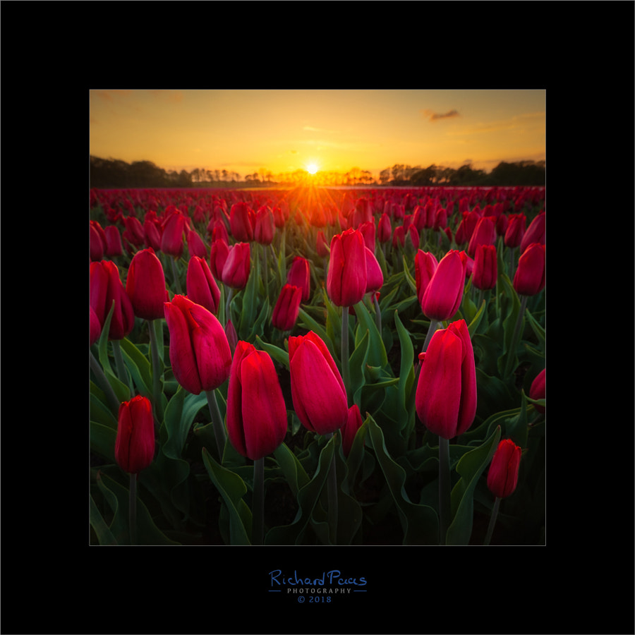 Red Tulips Sunset by Richard Paas on 500px.com